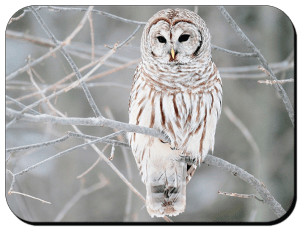 buho-blanco---white-owl